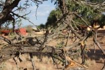 Cet acacia est l'une des seules espèces d'arbres à supporter les conditions climatiques dans la région de Sossusvlei / The camel thorn is one of the only trees that can survive in Sossusvlei's climate